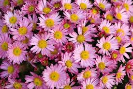pink and yellow daisies